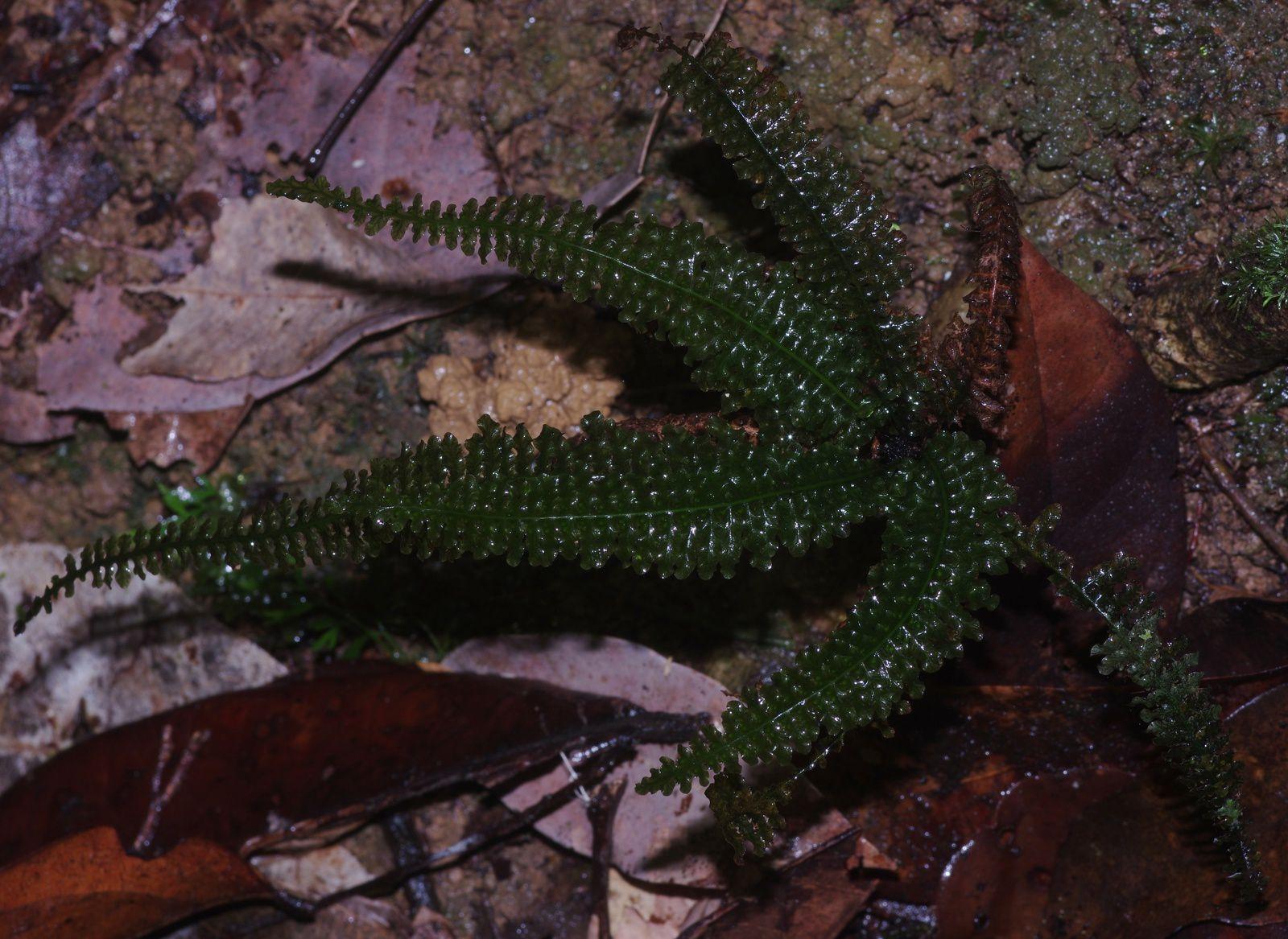 Trichomanes mougeotii