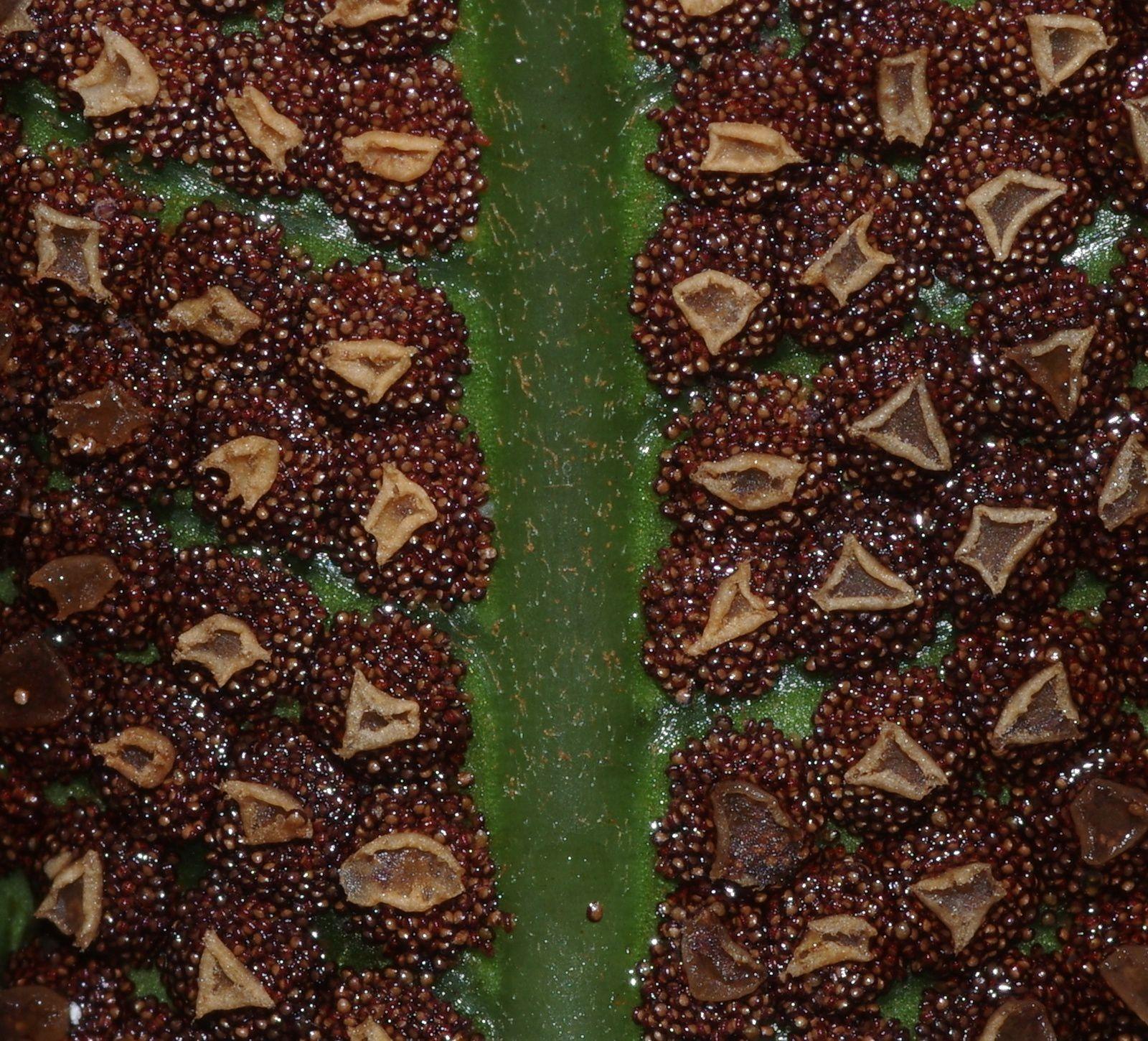Cyclodium meniscioides var. meniscioides