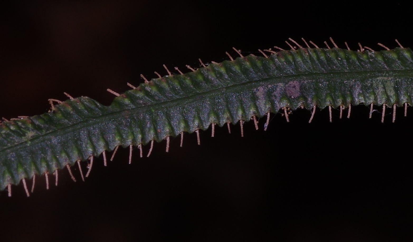 Trichomanes diversifrons