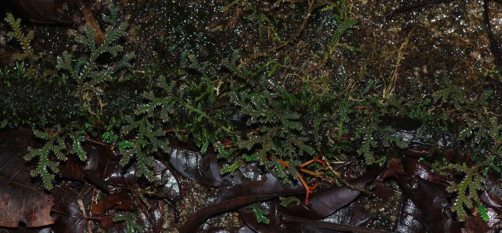 Selaginella sandwithii
