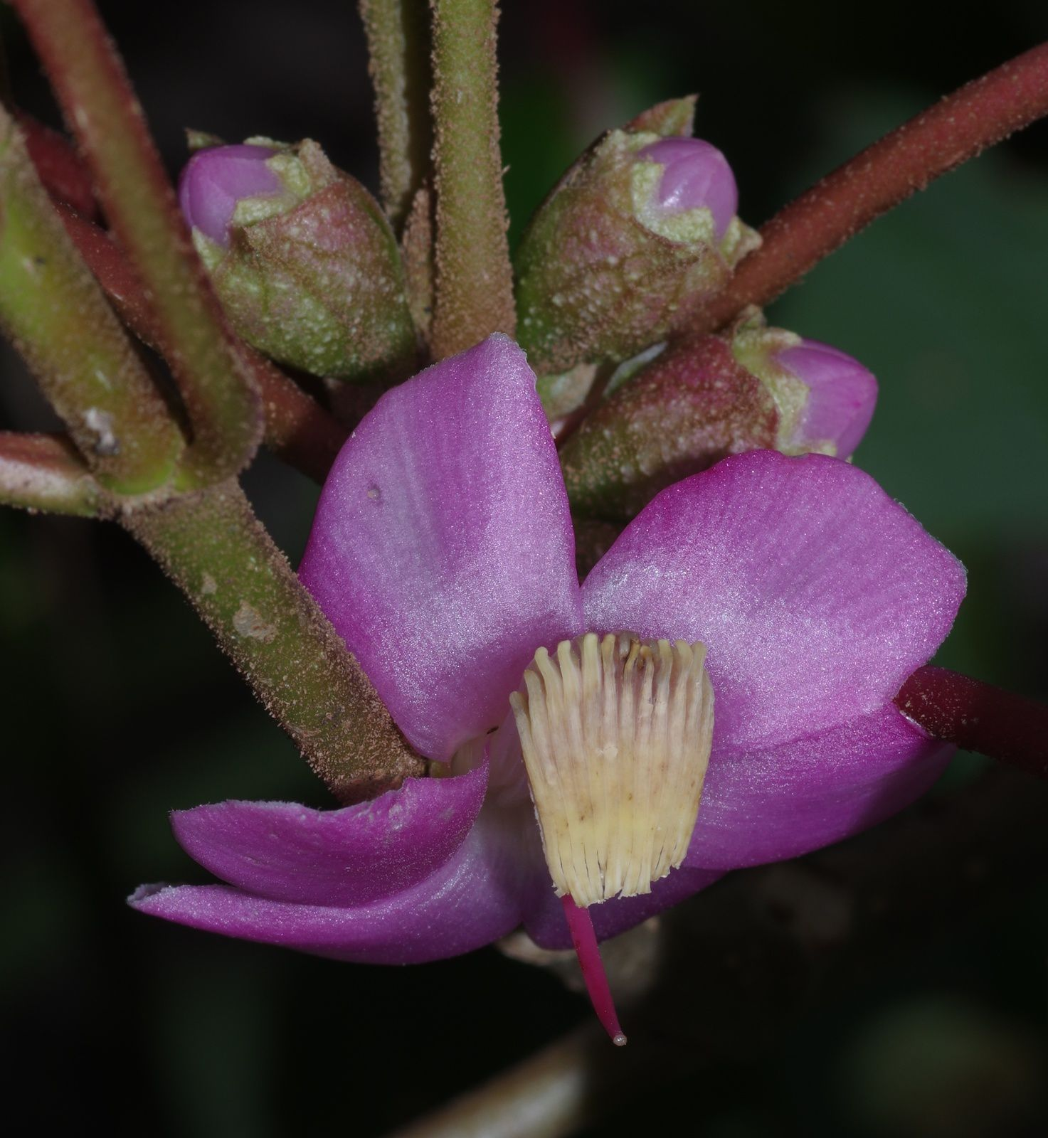Blakea parasitica