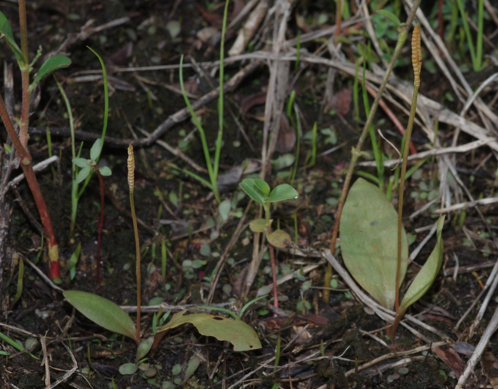Ophioglossum sp