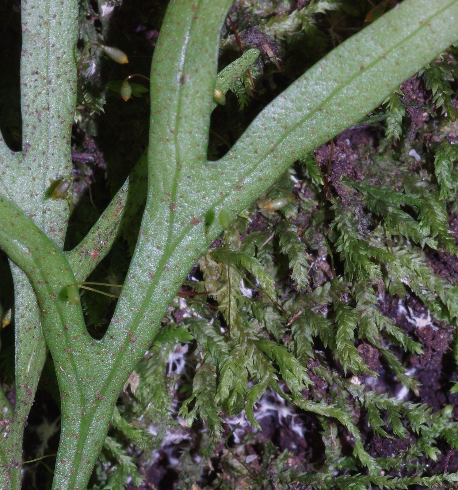Pleopeltis desvauxii