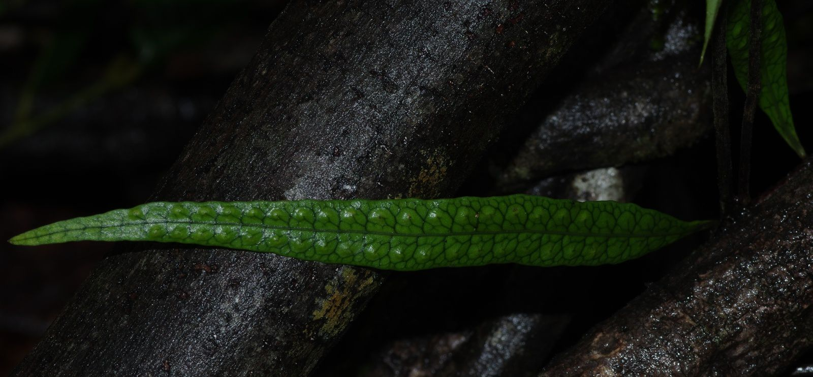 Microgramma lycopodioides