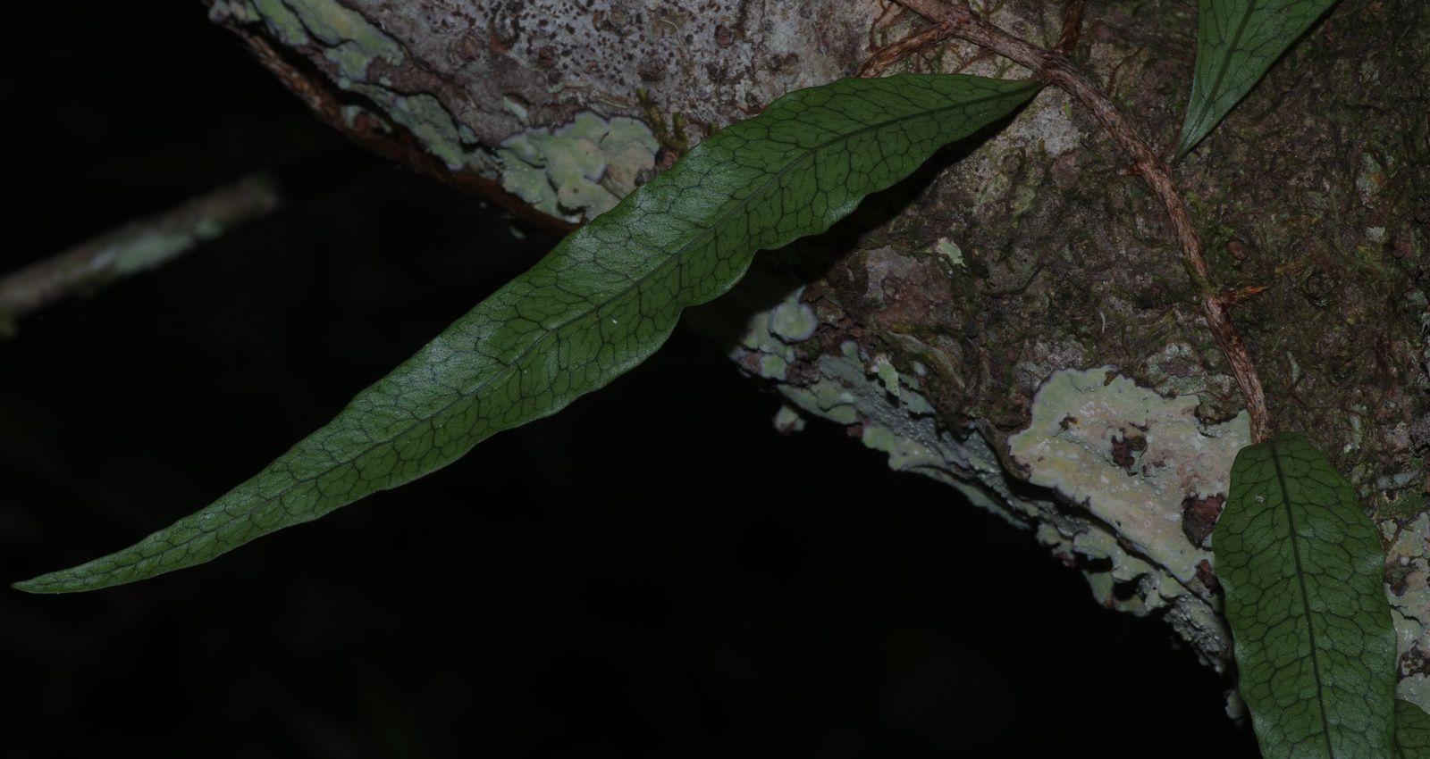 Microgramma lycopodioides