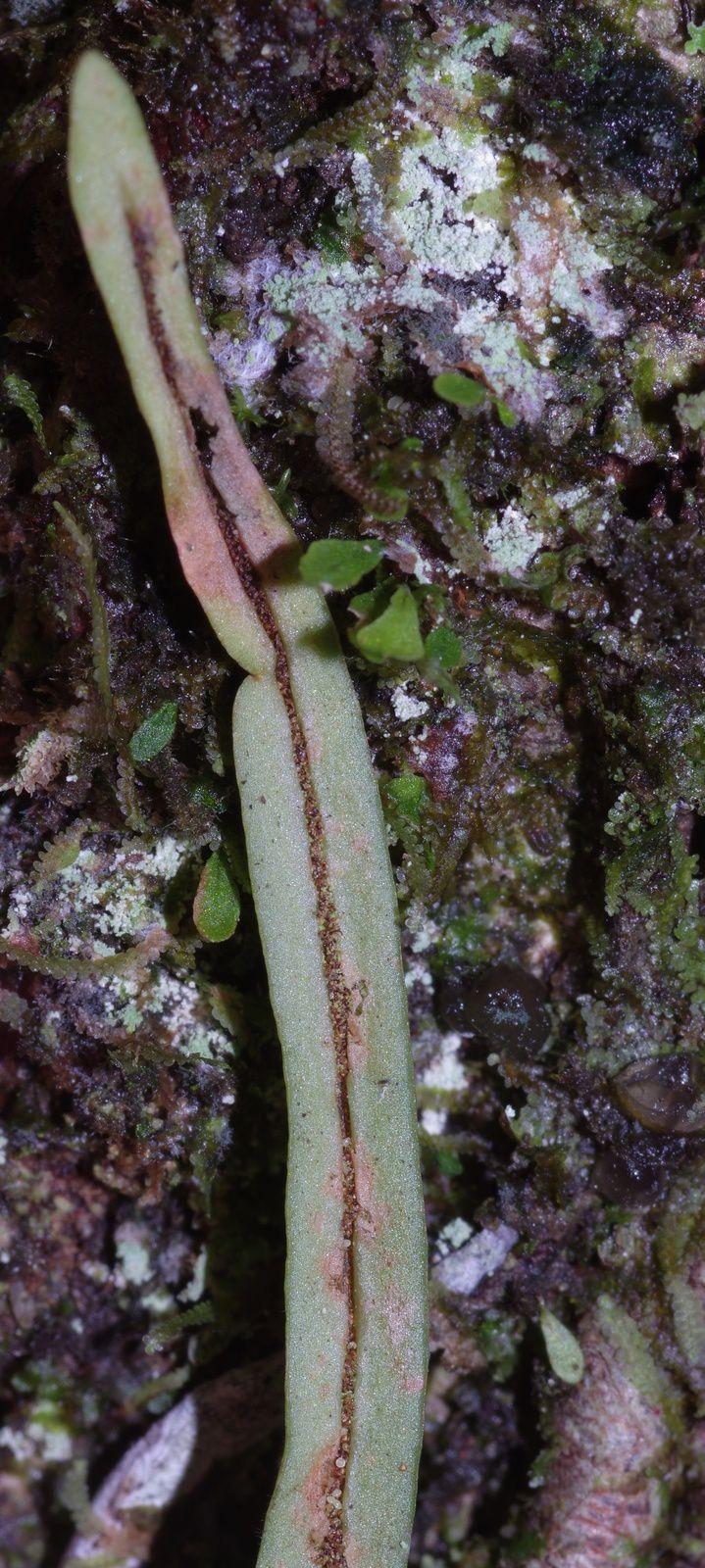 Cochlidium linearifolium