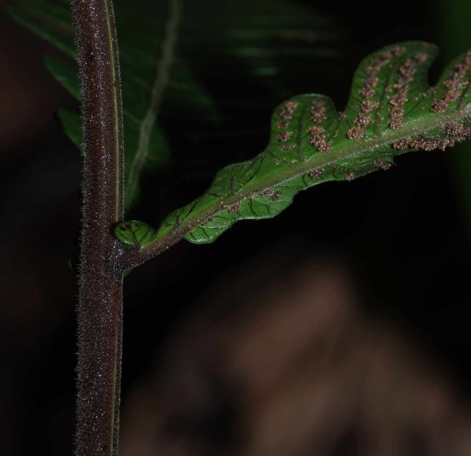 Goniopteris abrupta