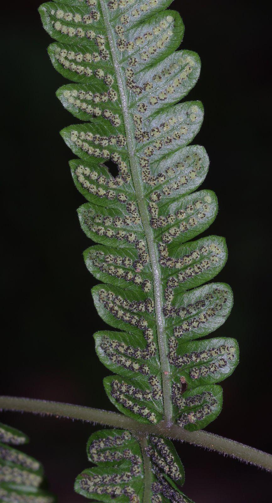 Goniopteris tetragona
