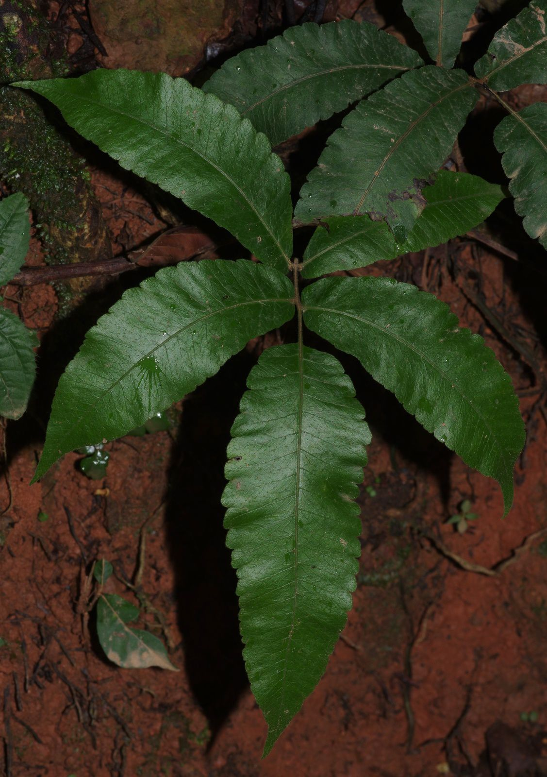 Goniopteris poiteana