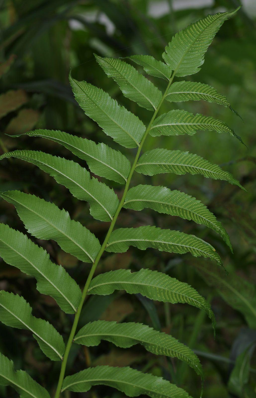 Meniscium serratum