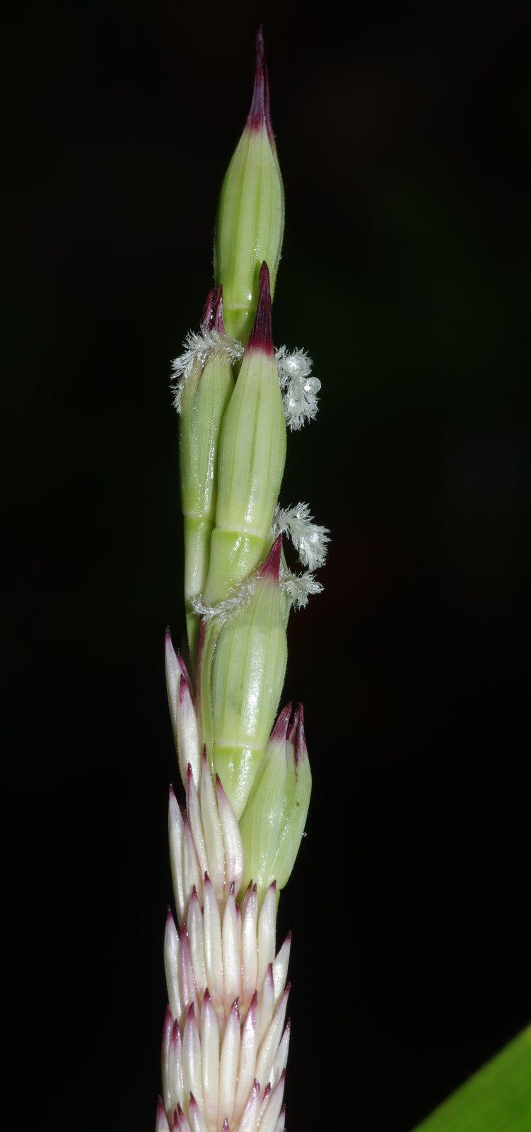 Olyra obliquifolia