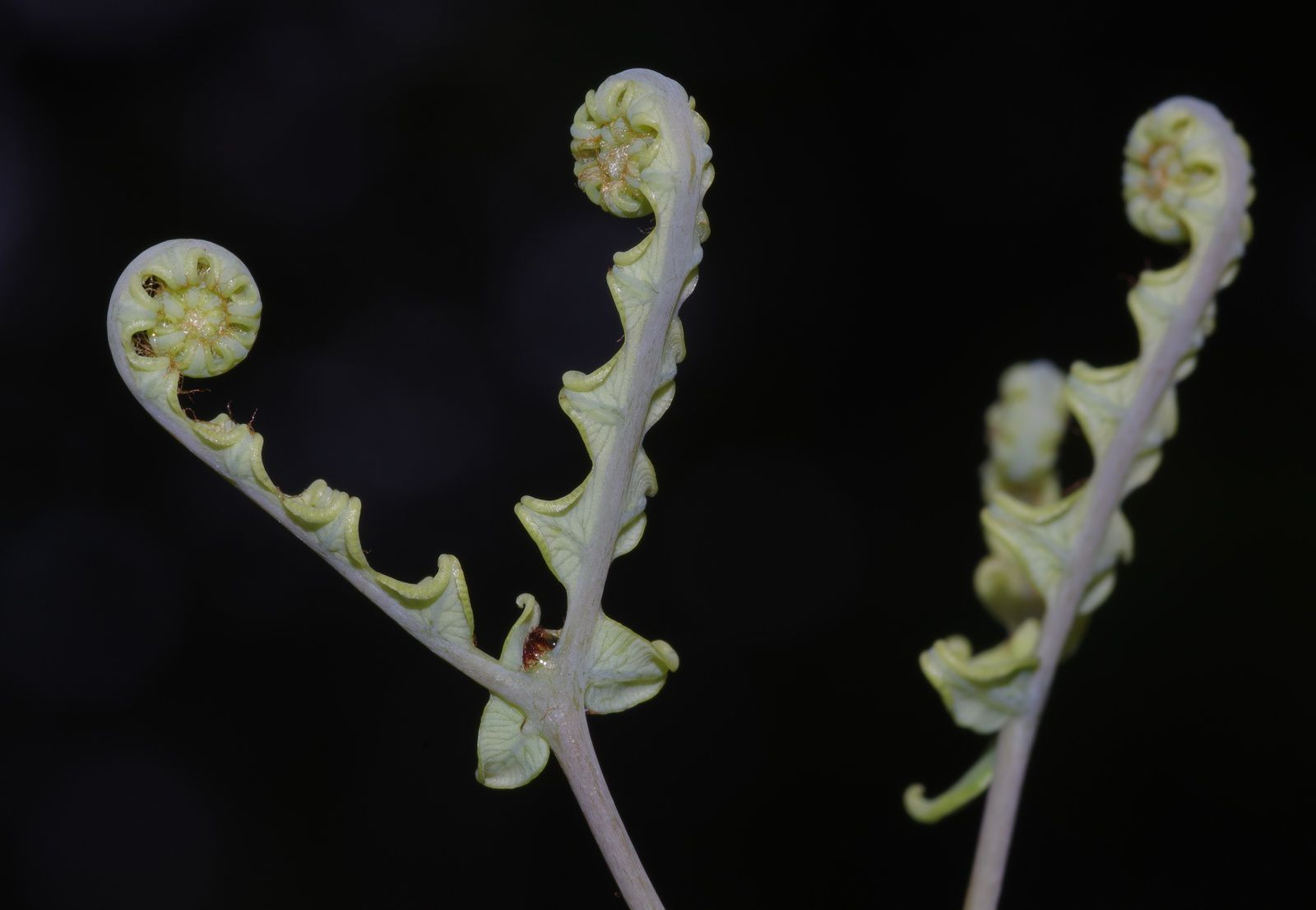 Dicranopteris flexuosa
