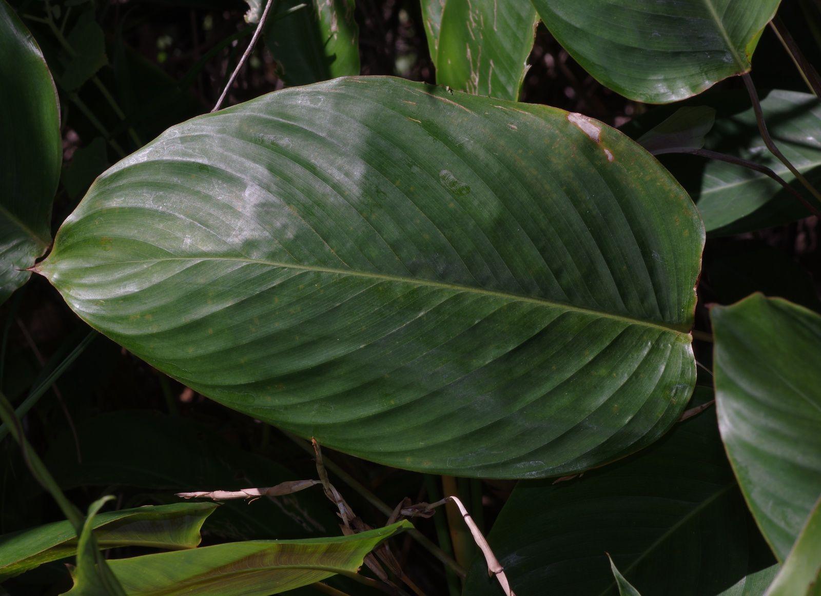 Ischnosiphon leucophaeus subsp. leucophaeus