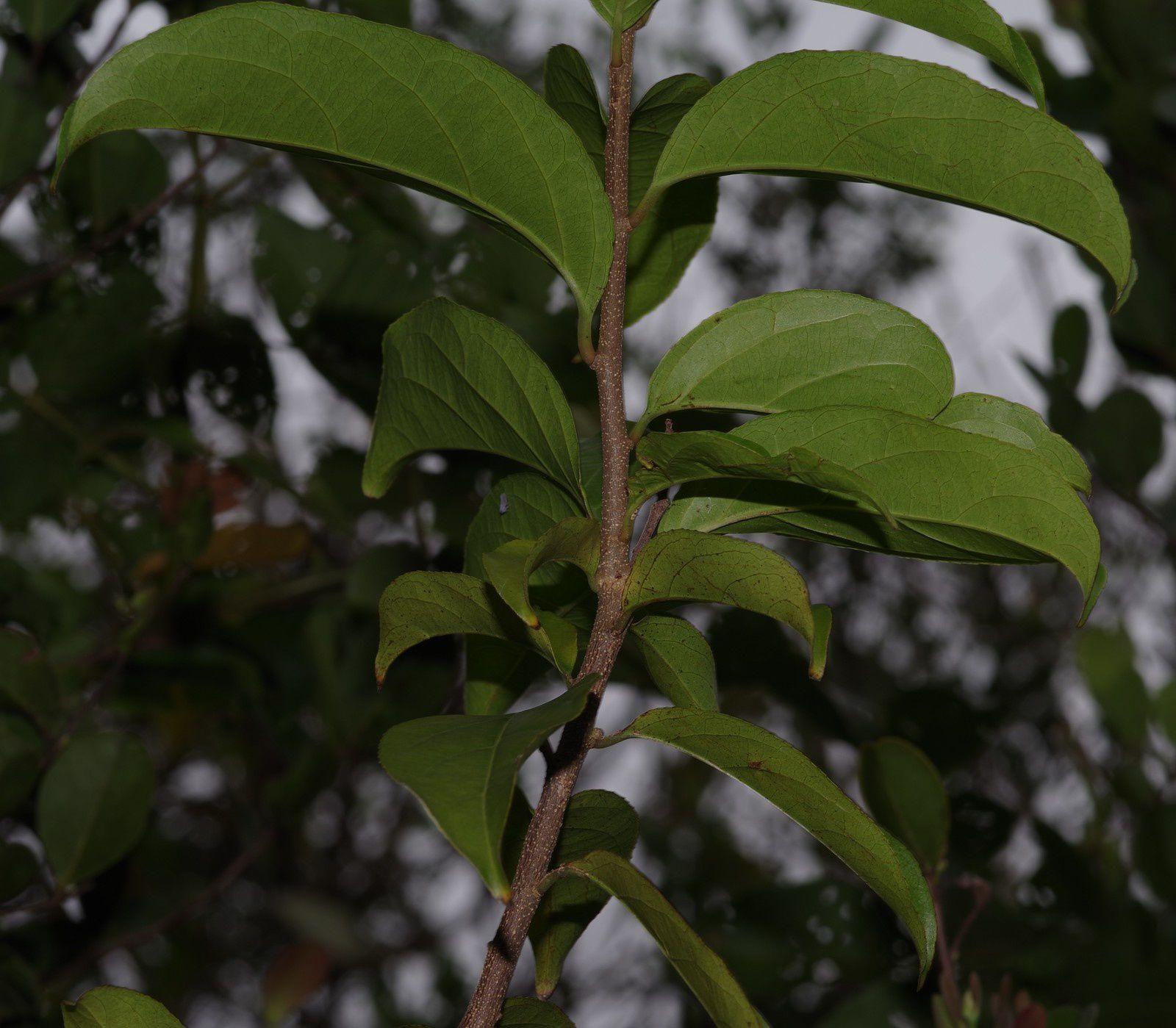Calyptrion arboreum