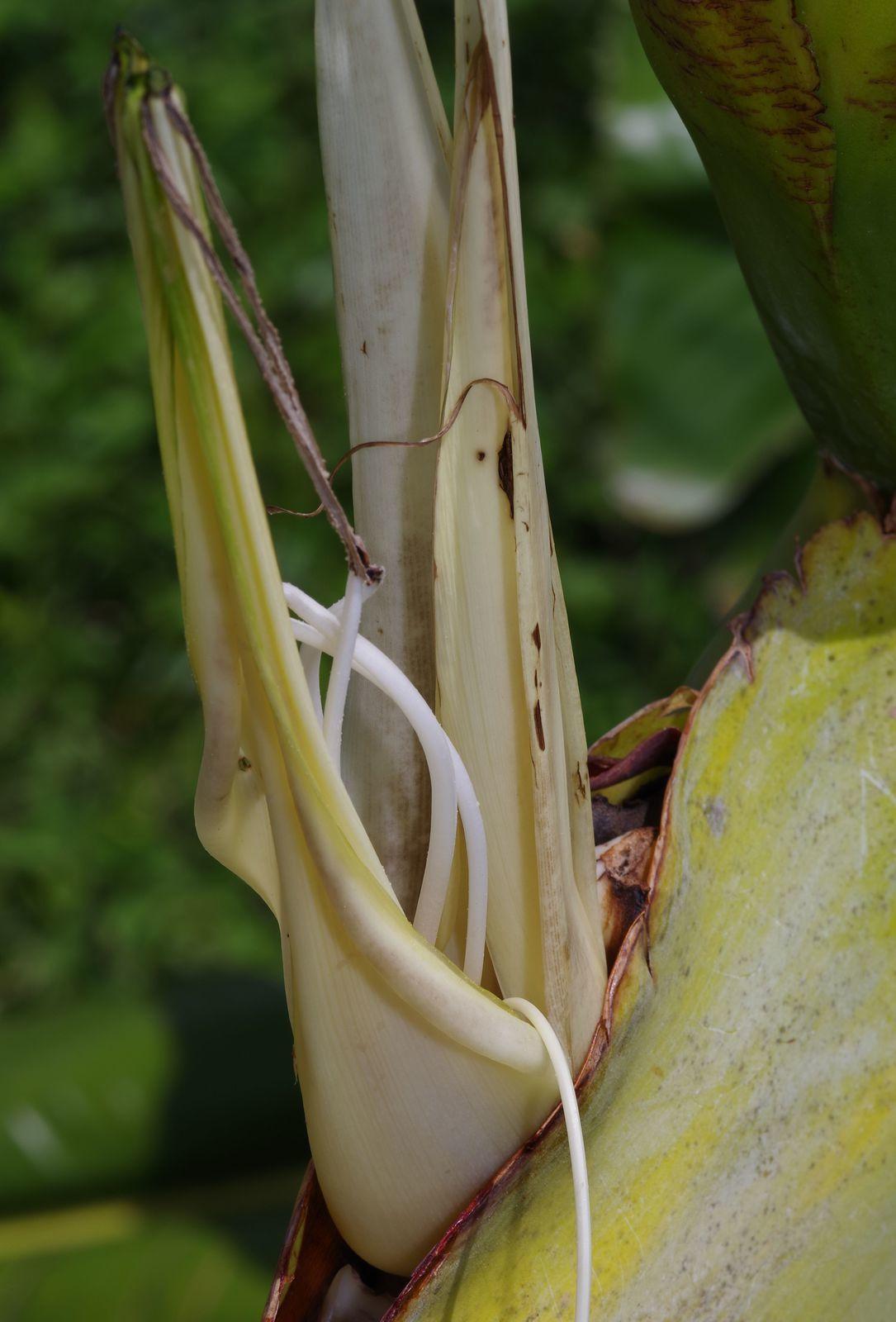 Phenakospermum guyannense (balourou, balalou)