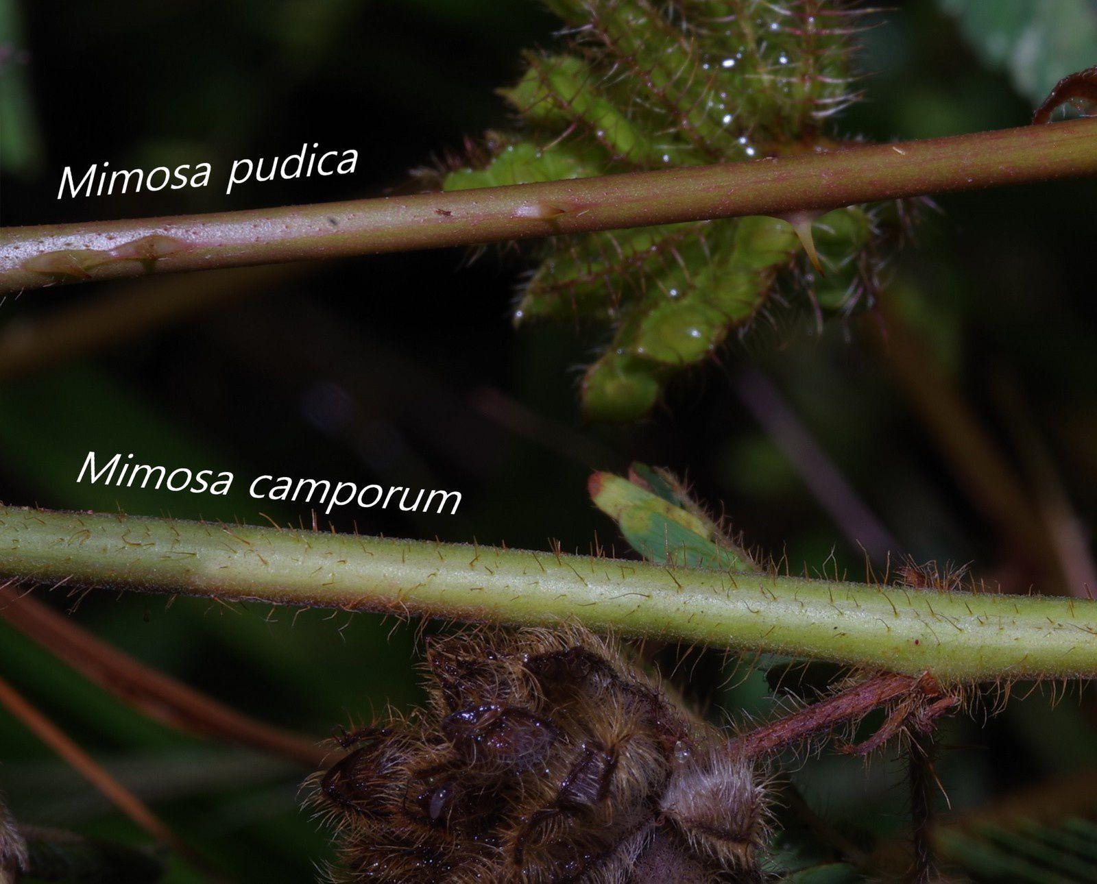 Mimosa camporum