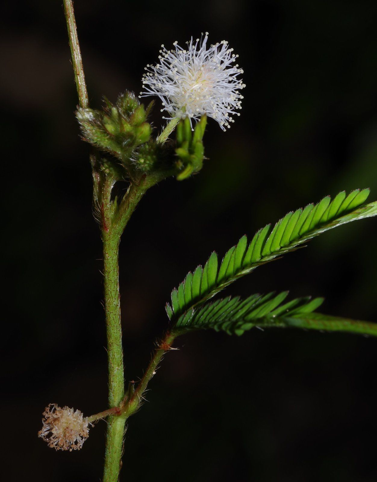 Mimosa polydactyla