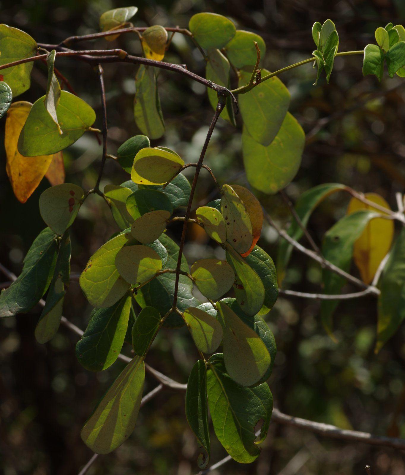 Mimosa guilandinae