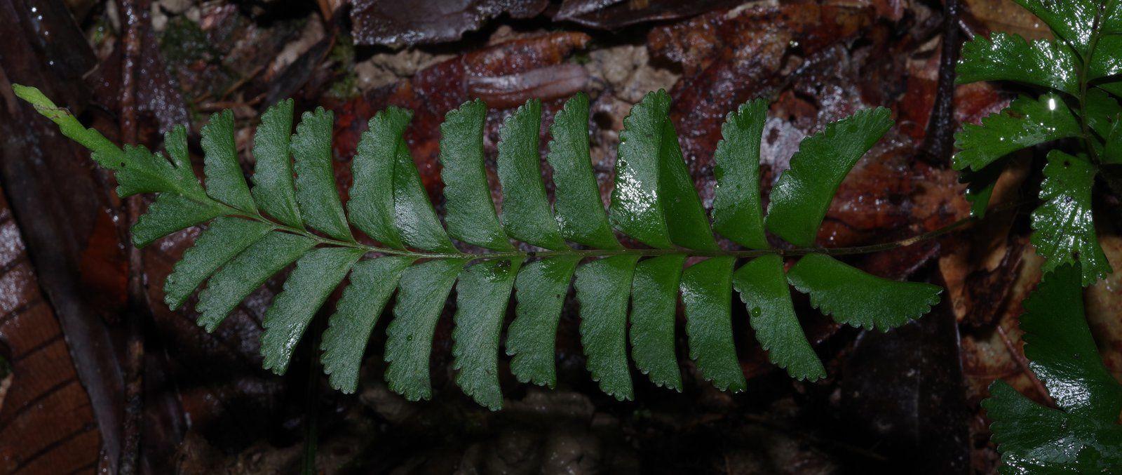 Lindsaea surinamensis