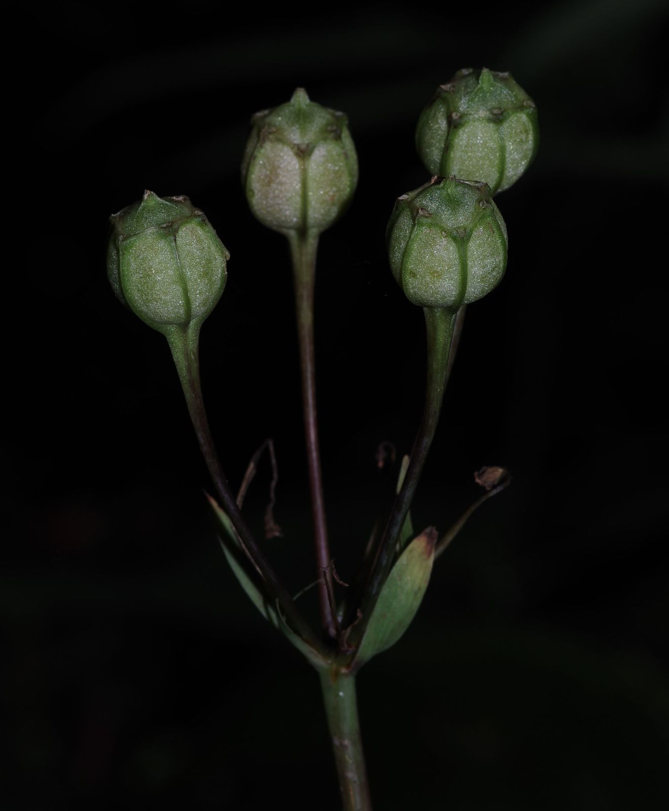 Alstroemeria amazonica