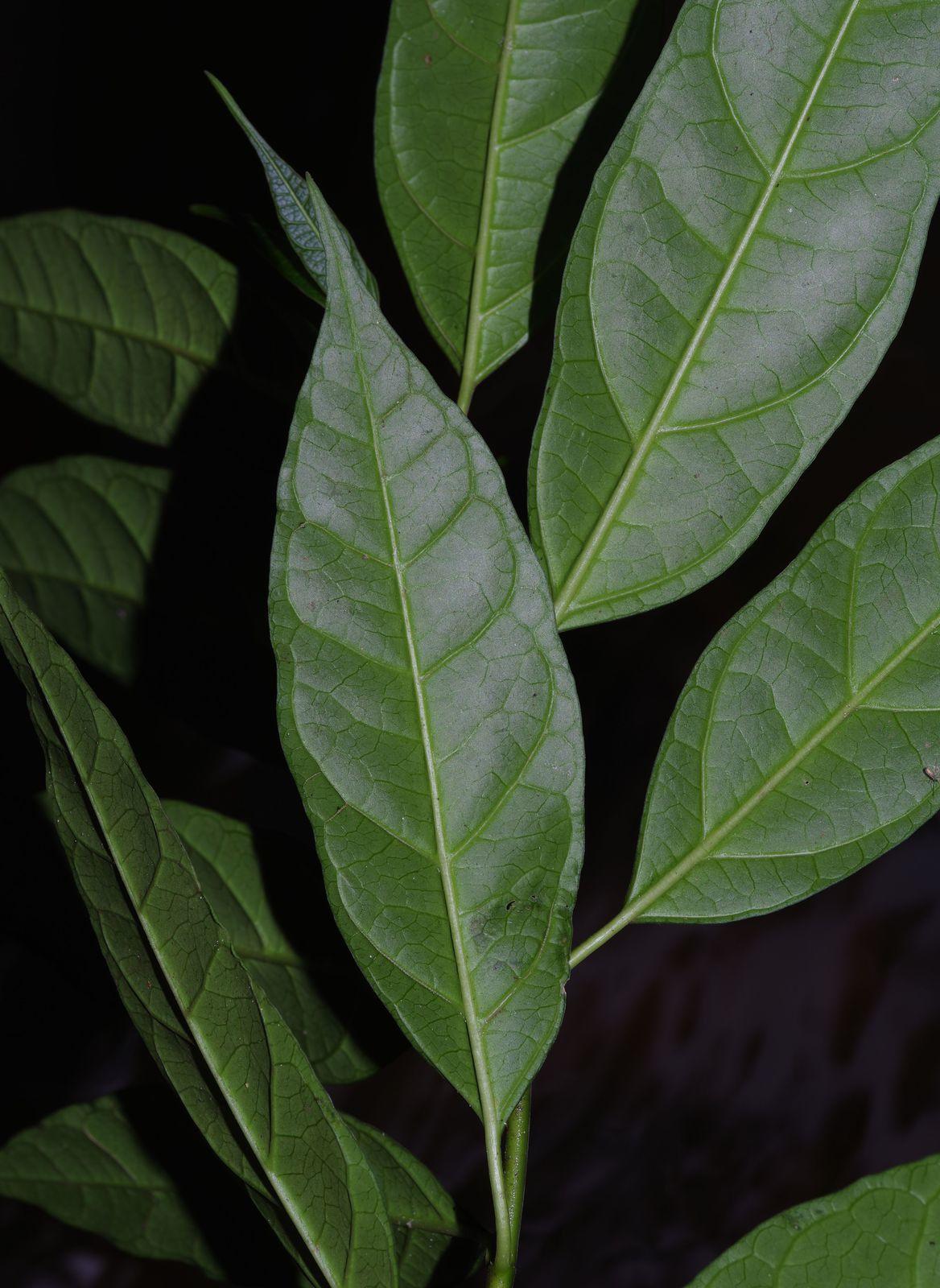 Matelea graciliflora