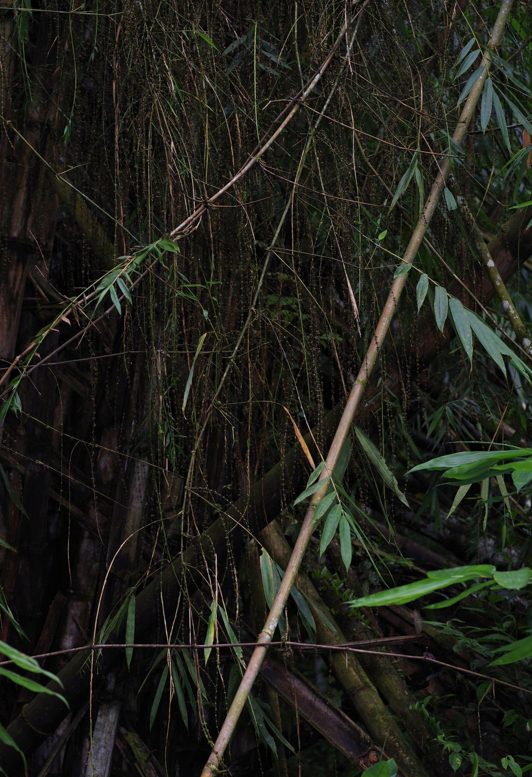 Dendrocalamus sp ( Dendrocalamus giganteus ? )