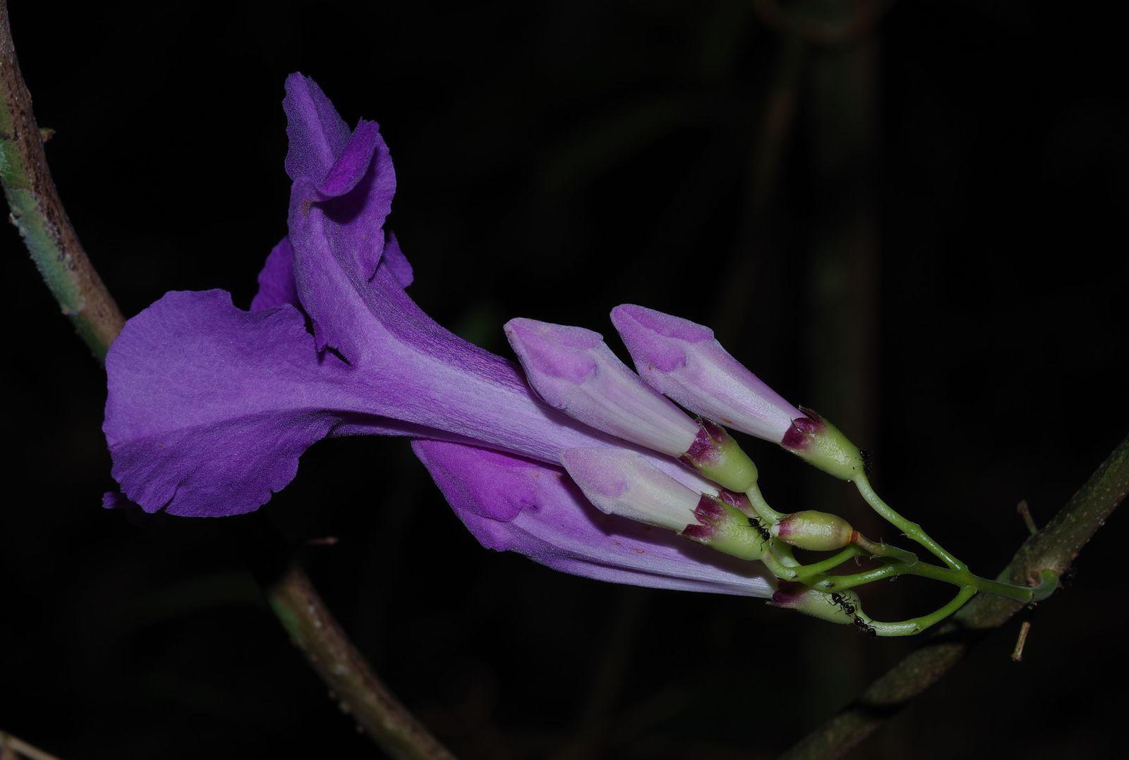Fridericia sp (à identifier)