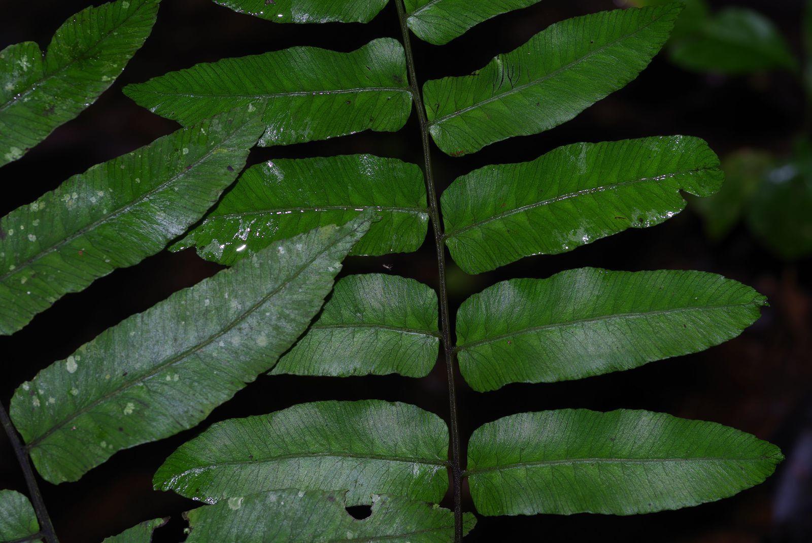 Diplazium grandifolium