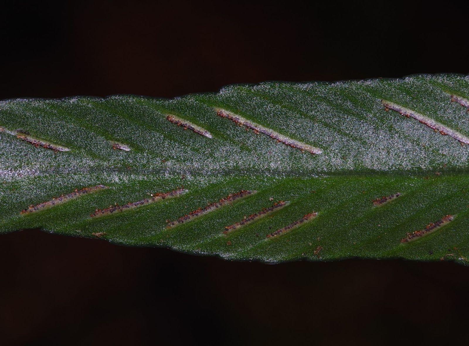 Asplenium angustum