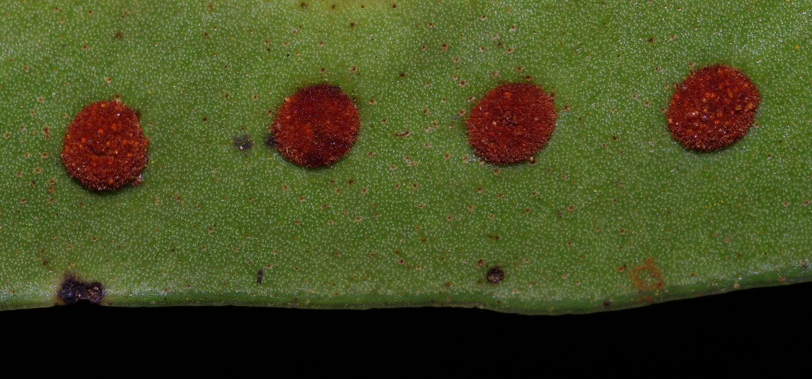 Microgramma percussa