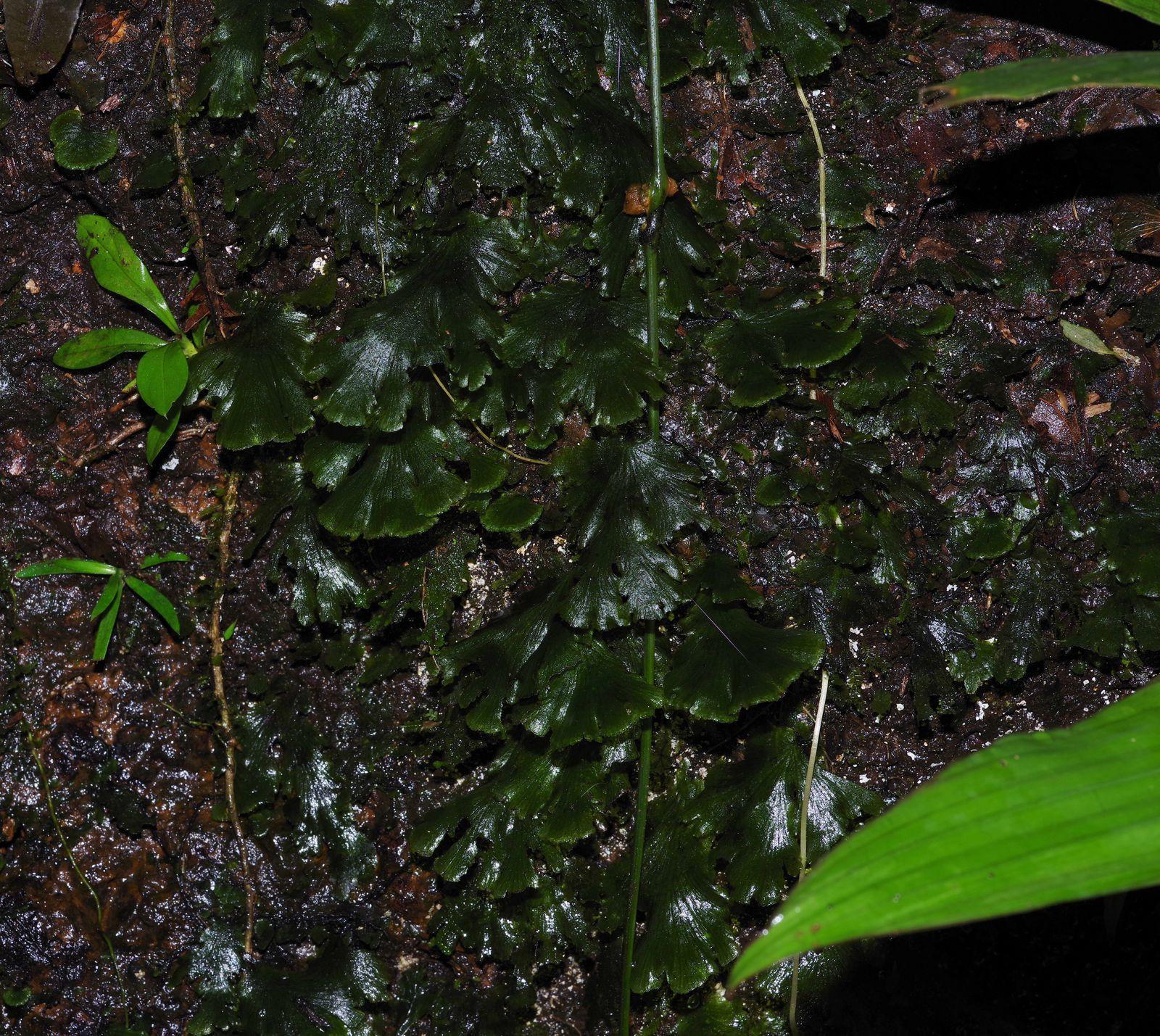 Didymoglossum membranaceum