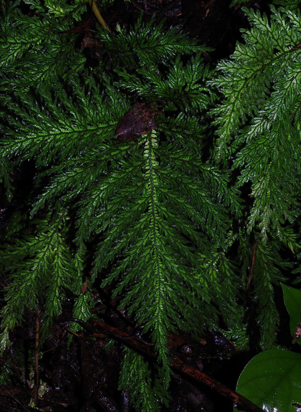 Selaginella radiata