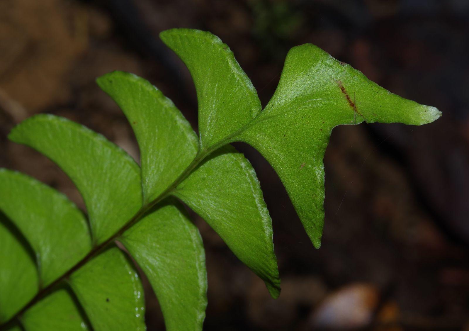 Lindsaea lancea var. leprieurii