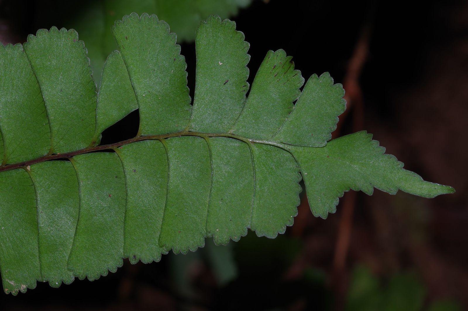 Lindsaea divaricata