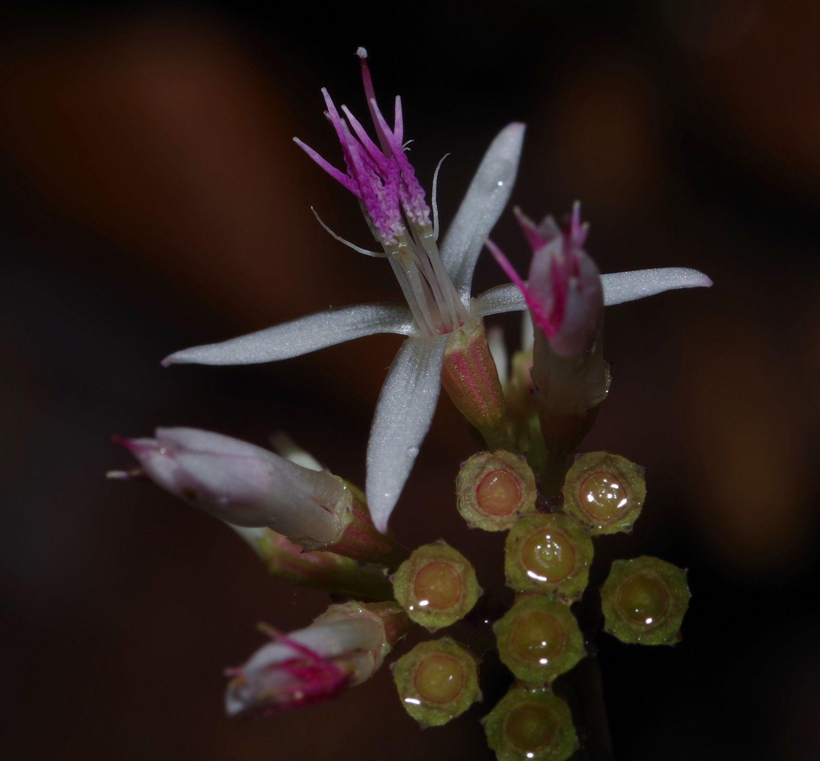 Macrocentrum latifolium