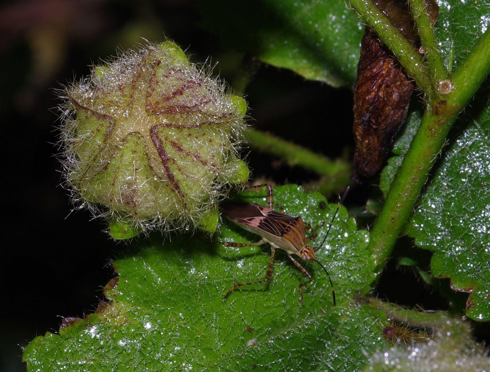 Hibiscus spathulatus