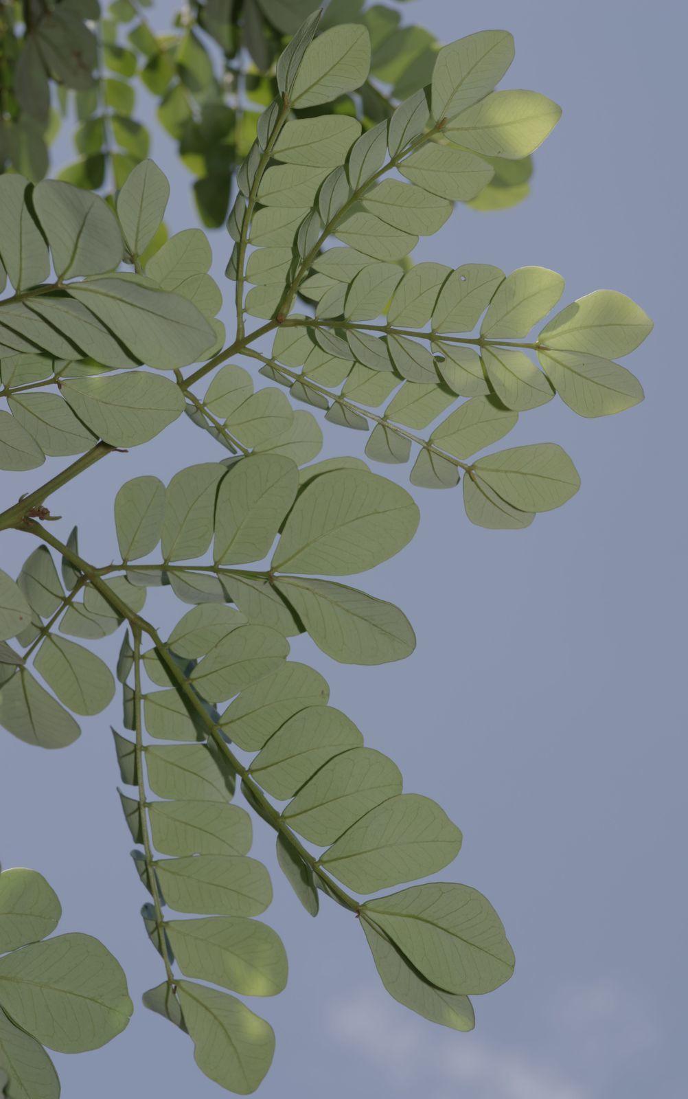 Abarema jupunba var. trapezifolia