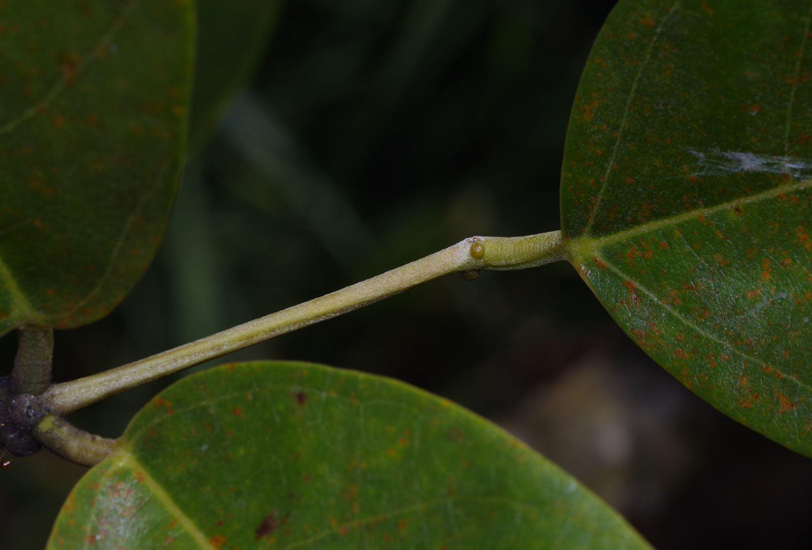 Erythrina fusca (zimortelle)