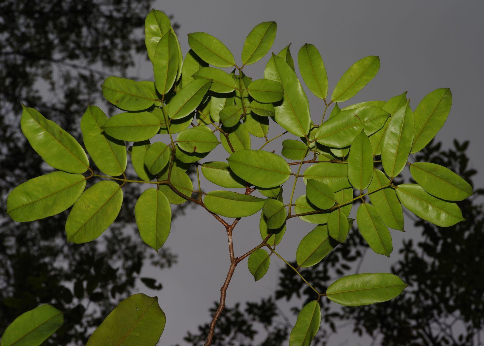 Eperua rubiginosa (wapa-rivière)