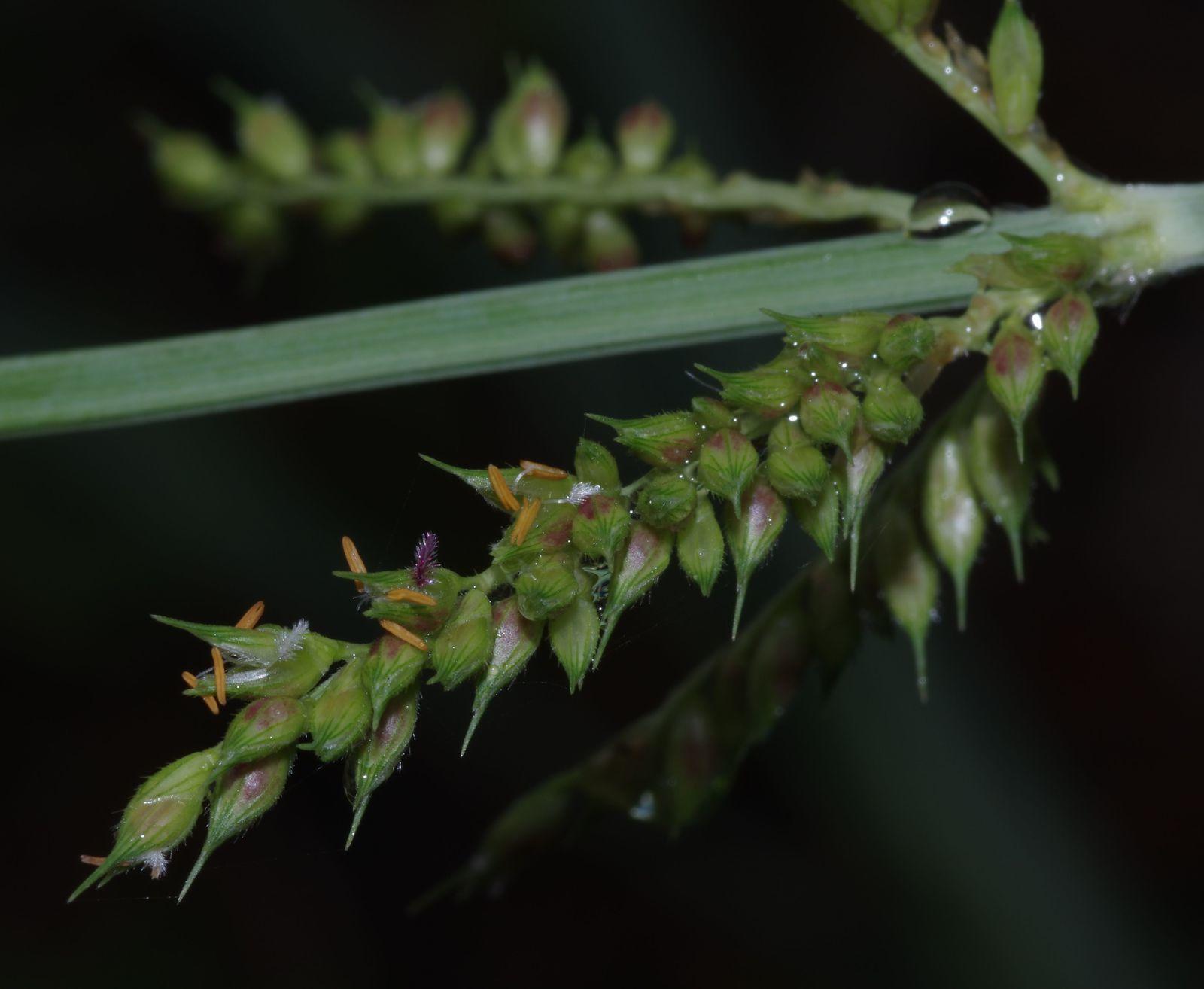 Echinochloa polystachya