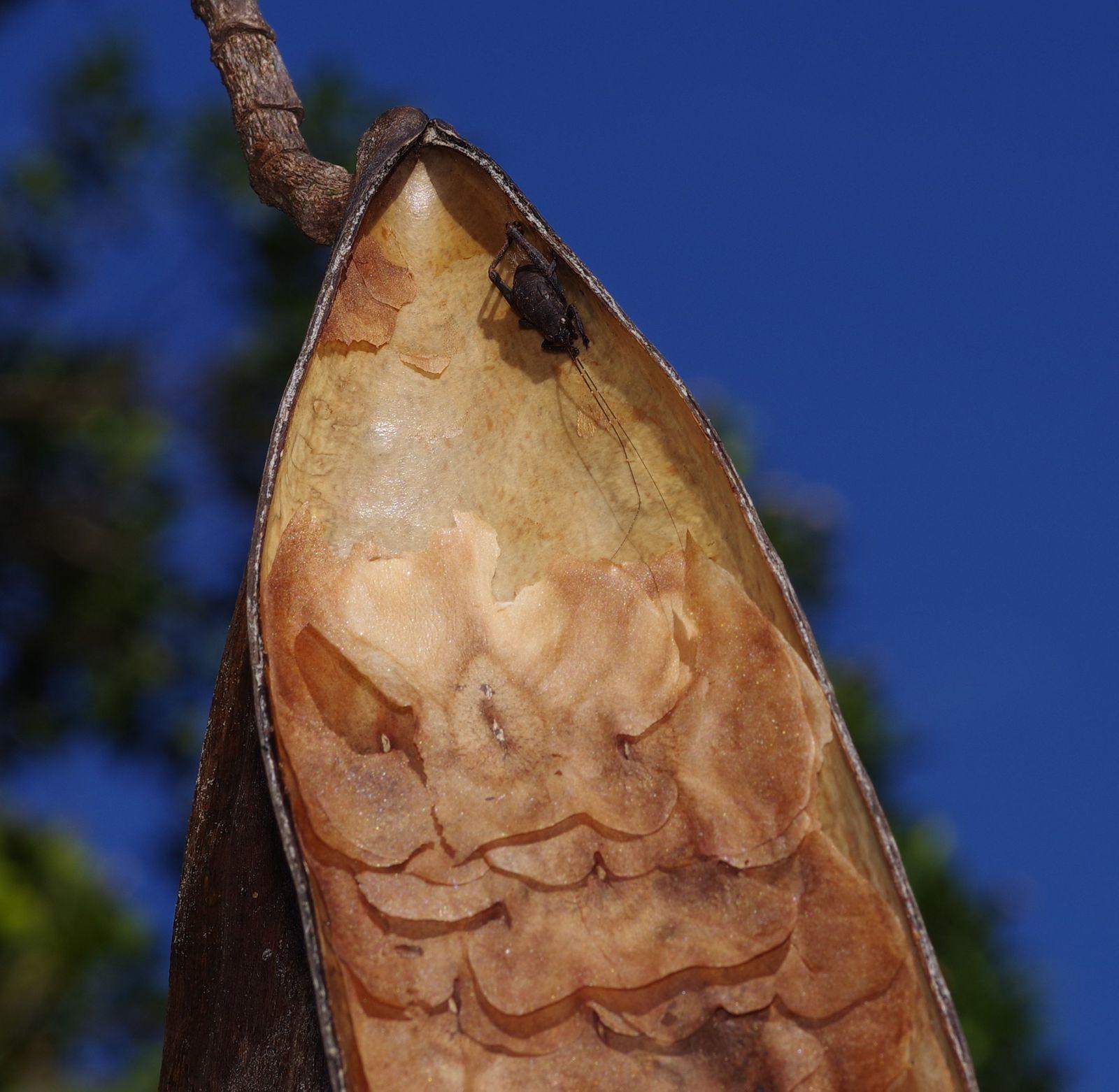 Himatanthus phagedaenicus