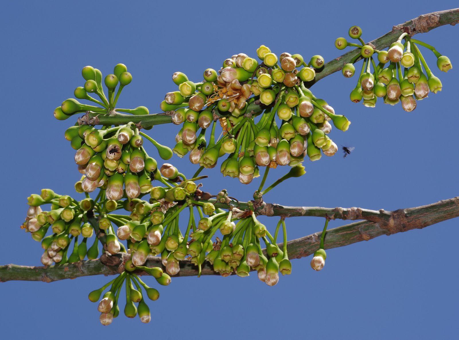 Ceiba pentandra (fromager, kapokier)