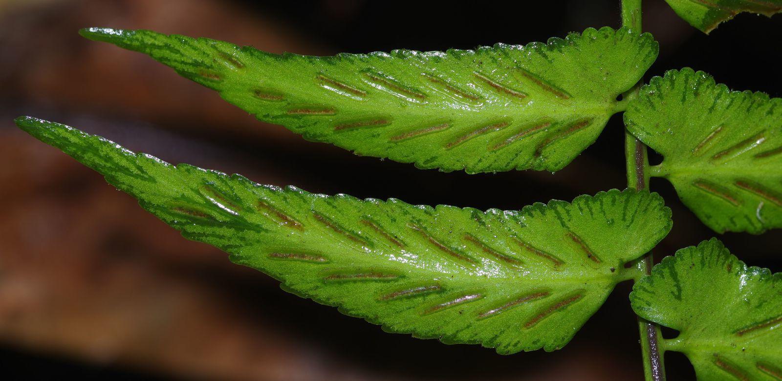 Asplenium salicifolium