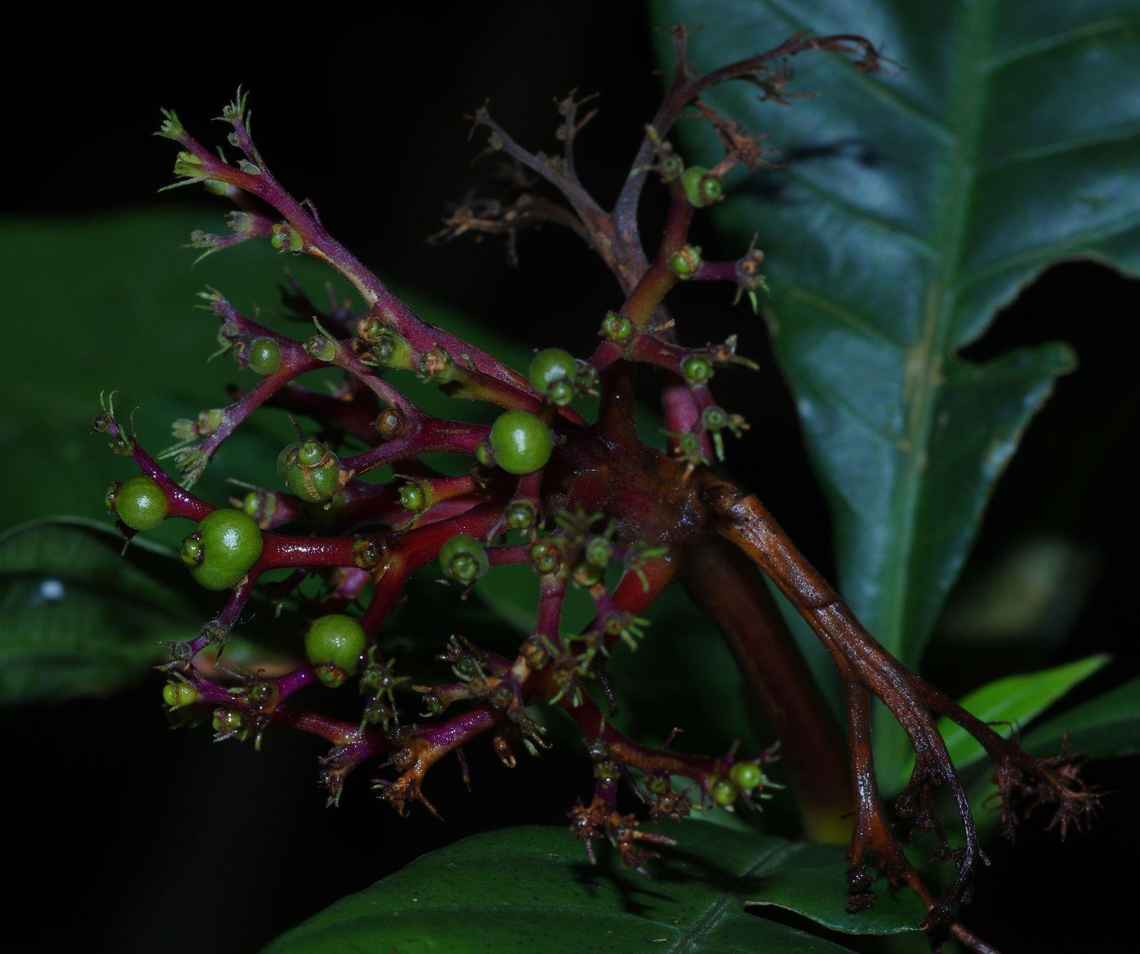 Palicourea quadrifolia