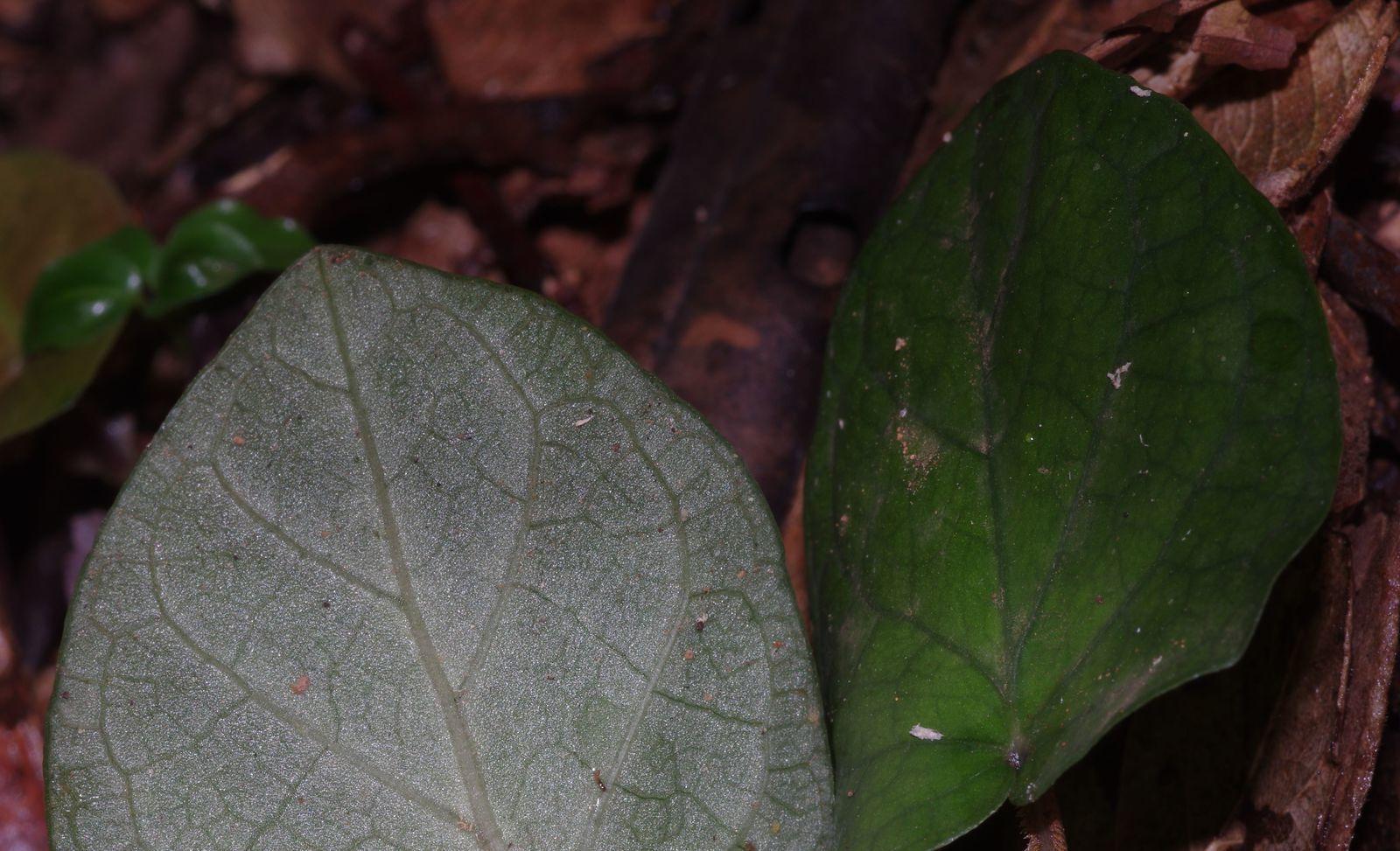 Geophila repens