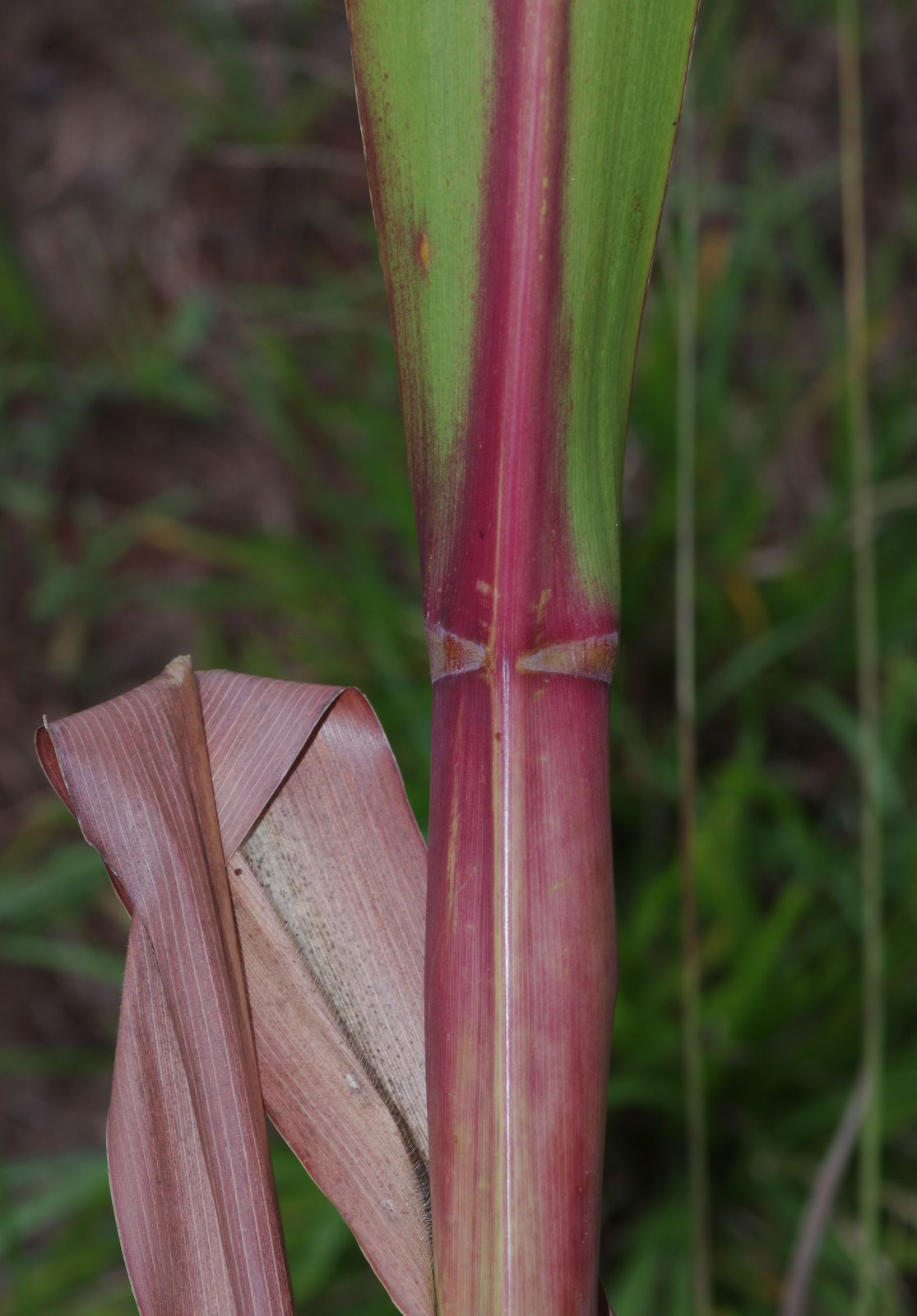 Tripsacum andersonii
