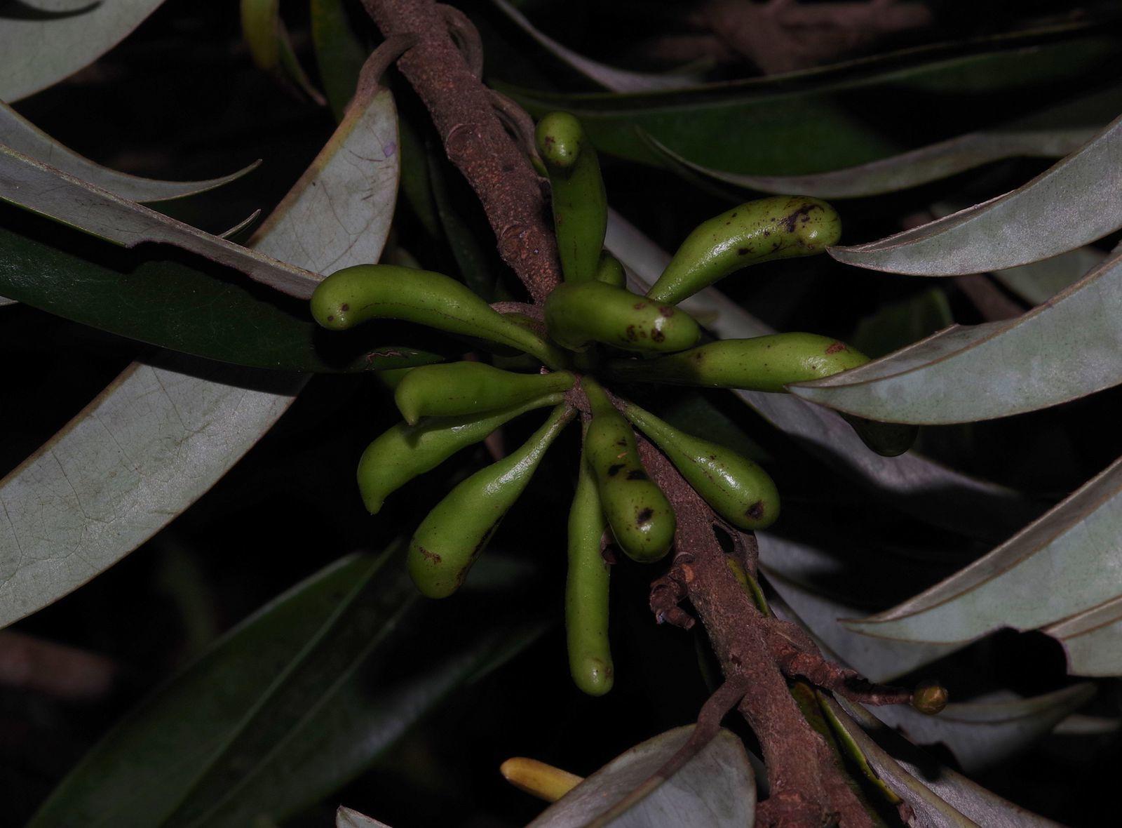 Xylopia nitida (lamoussé blanc)