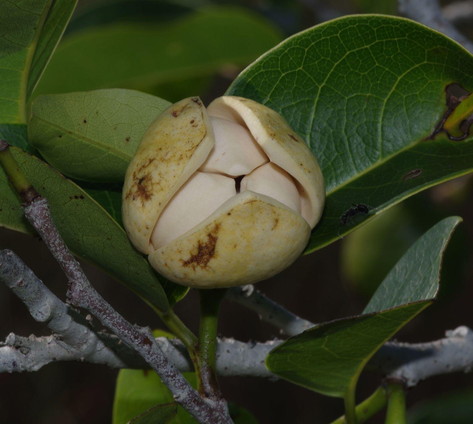 Annona glabra (cœur de bœuf, guimanmin, abriba grand bois)