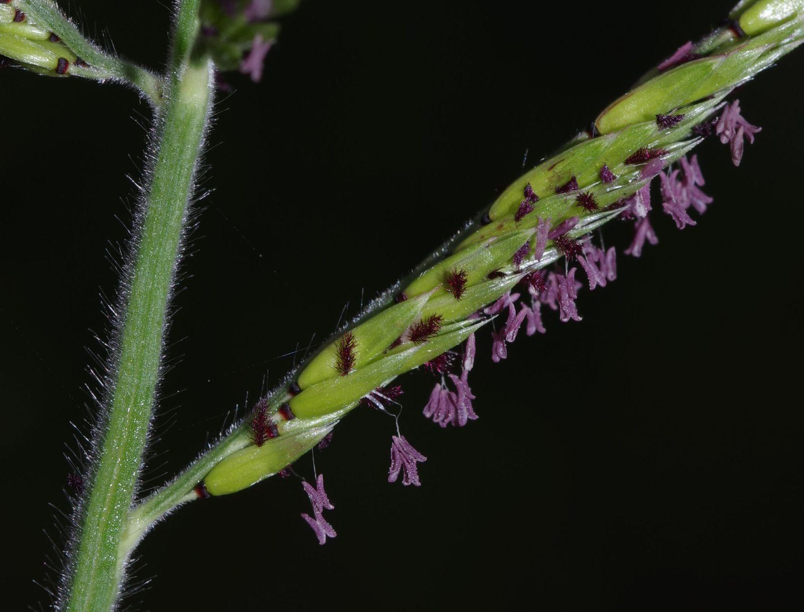 Eriochloa punctata