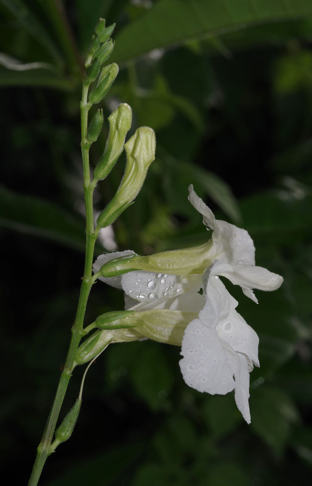 Asystasia gangetica subsp. gangetica